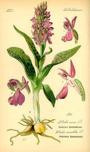 Illustration Orchis morio0.jpg © Commons