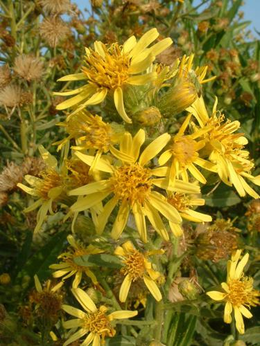 Inula viscosa flowers.jpg © No machine-readable author provided. Rickjpelleg assumed (based on copyright claims).