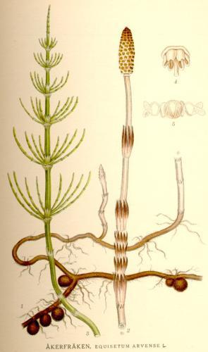 Equisetum arvense nf.jpg © Commons