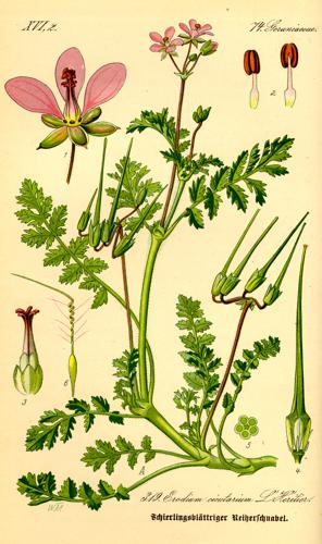 Illustration Erodium cicutarium0.jpg © Commons