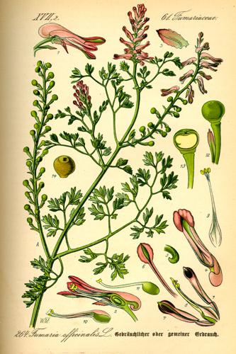 Illustration Fumaria officinalis0.jpg © Commons