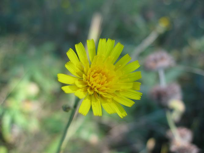 Hieracium sabaudum flower head.jpg © la la means I love you