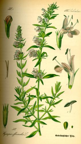 Illustration Hyssopus officinalis0.jpg © User:Topjabot