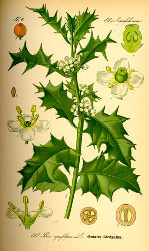 Illustration Ilex aquifolium0.jpg © Commons