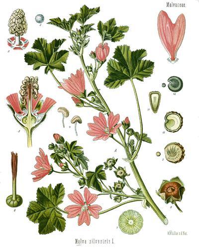 Malva sylvestris - Köhler–s Medizinal-Pflanzen-222.jpg © Köhler, F. E. (Franz Eugen)
