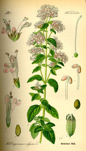 Illustration Origanum vulgare0.jpg © Commons