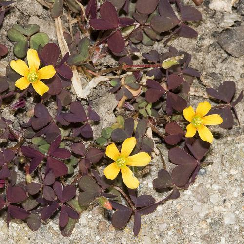 Oxalis.corniculata.7562.JPG © picture taken by Olaf Leillinger