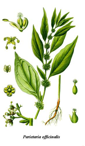 Cleaned-Illustration Parietaria officinalis.jpg © User:Chrizz