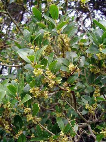 Phillyrea latifolia.jpg © Commons