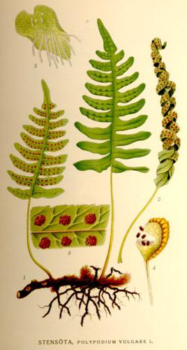 Polypodium vulgare-NF.jpg © Commons