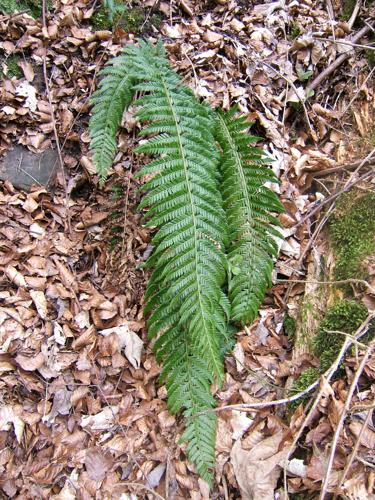 Polystichum aculeatum.jpg © No machine-readable author provided. MPF assumed (based on copyright claims).