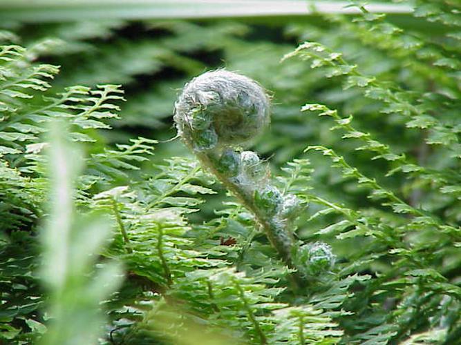 Polystichum setiferum0.jpg © Kurt Stüber [1]