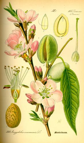 Illustration Prunus dulcis0.jpg © Commons