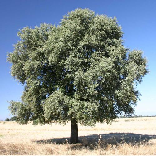 Quercus ilex rotundifolia.jpg © Commons