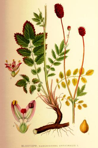 Sanguisorba officinalis.jpg © Commons