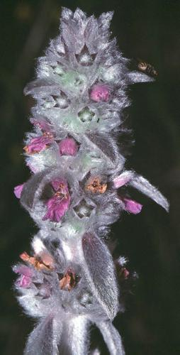 Stachys germanica2 eF.jpg © Fornax at German Wikipedia