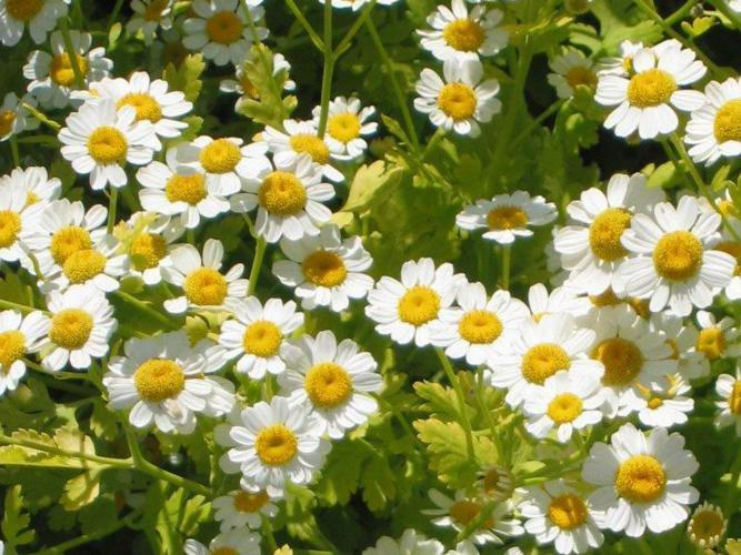 Feverfew.jpg © Commons
