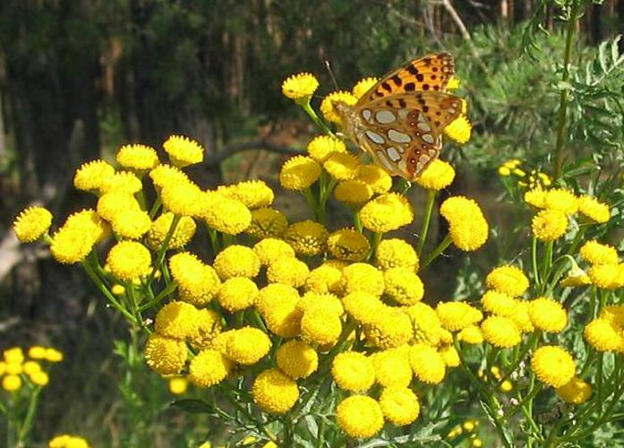 Tansy and Queen of Spain Fritilllary.JPG © Lienhard Schulz