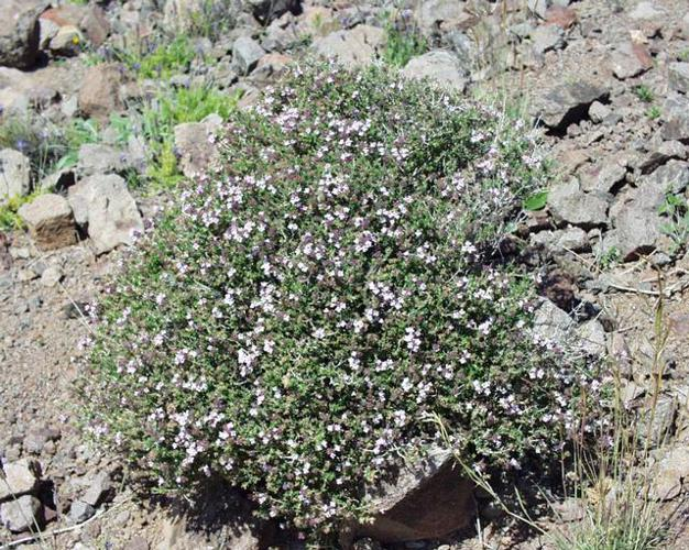 Thymus vulgaris1.JPG © Henry Brisse (upload by user:Abalg)
