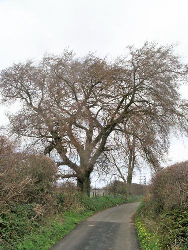 Llandegfan Elm tree.jpg © Commons