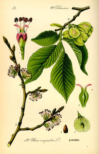 Illustration Ulmus carpinifolia0.jpg © Commons