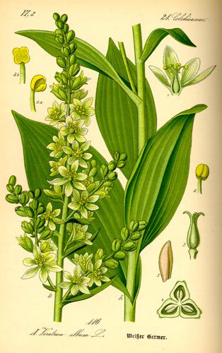 Illustration Veratrum album0.jpg © Commons
