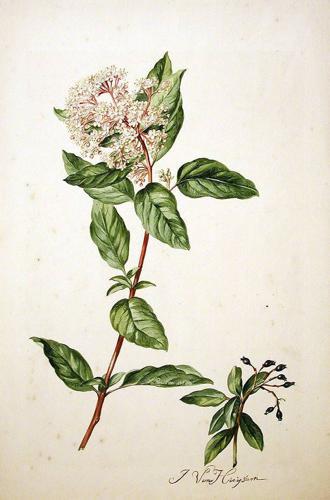 Viburnum tinus00.jpg © Commons