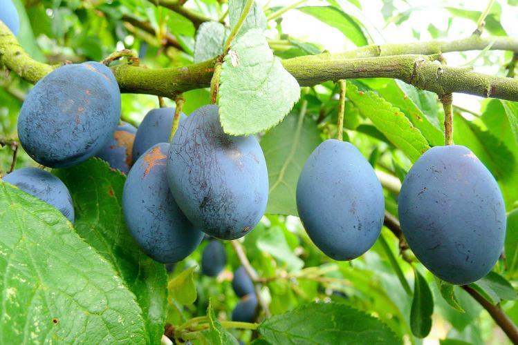 Damson plum fruit.jpg © Jonathan Billinger