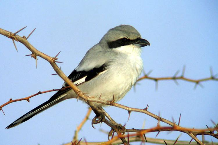 Southern grey shrike.jpg © Per-Anders Olsson (used with permission)