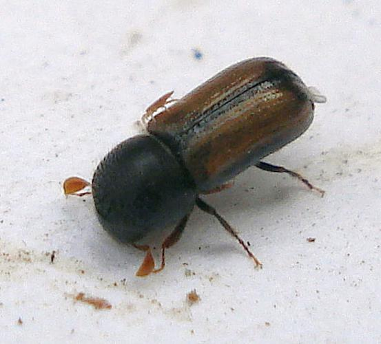 Trypodendron domesticum (3390142597).jpg © Mick Talbot from Lincoln (U.K.), England