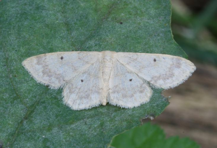 Idaea biselata-01 (xndr).jpg © No machine-readable author provided. Svdmolen assumed (based on copyright claims).