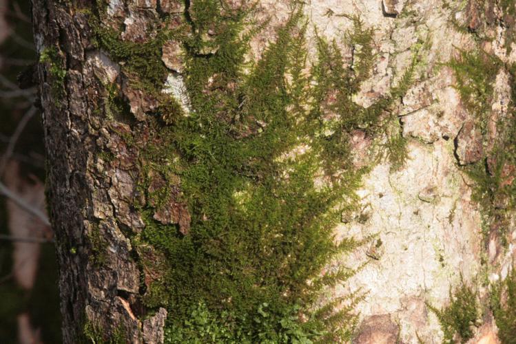 Pseudoleskeella nervosa (b, 144721-474815) 3718.JPG © HermannSchachner
