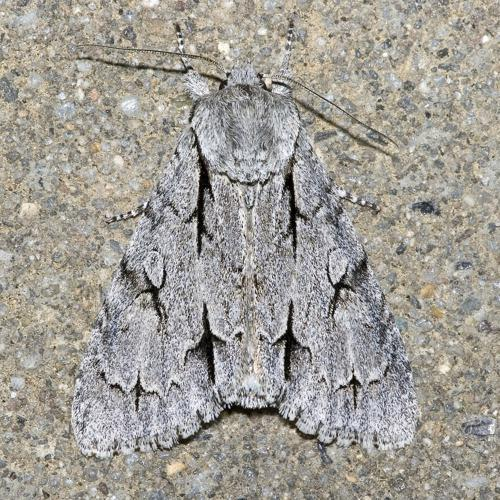 Acronicta.psi.7147.jpg © Commons