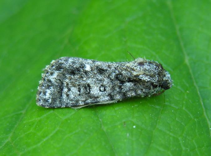 Acronicta.rumicis.jpg © Commons
