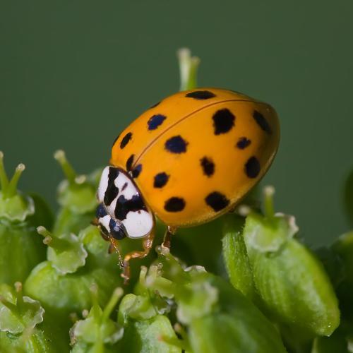 Asian lady beetle-(Harmonia-axyridis).jpg © Andreas Trepte
