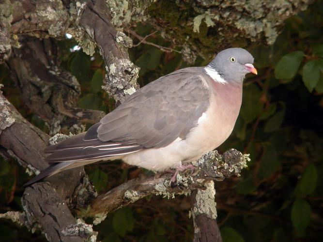 Pigeon ramier © Damien Combrisson - Parc national des Ecrins