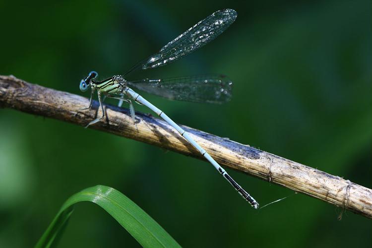 Platycnemis latipes © Damien Combrisson - Parc national des Ecrins