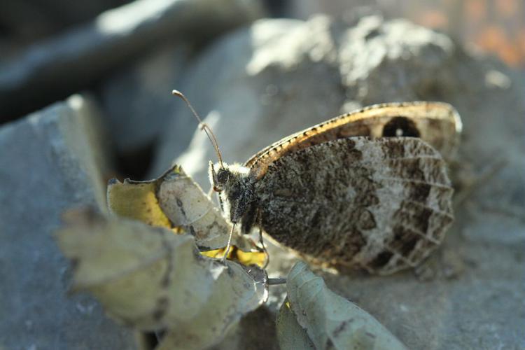 Petite coronide © Donovan Maillard - Parc national des Ecrins
