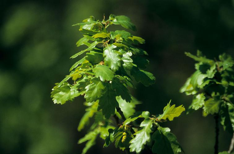 Chêne pubescent © Christian Baïsset - Parc national des Ecrins