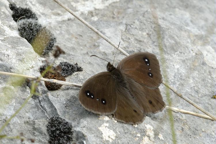 Grande Coronide (La), Pupillé (Le), Semi-Actéon (Le) © Mireille Coulon - Parc national des Ecrins
