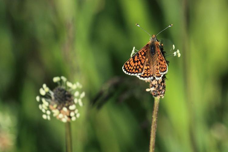Melitaea cinxia © Marc Corail - Parc National des Ecrins