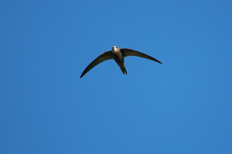 Martinet noir © Pascal Saulay - Parc national des Ecrins