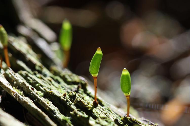 Buxbaumia viridis © Cédric Dentant - Parc national des Ecrins