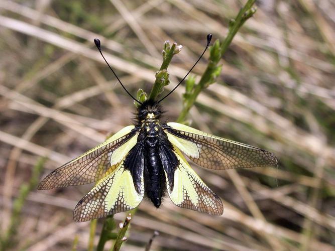 Libelloides coccajus © Blandine Delenatte - Parc National Des Ecrins
