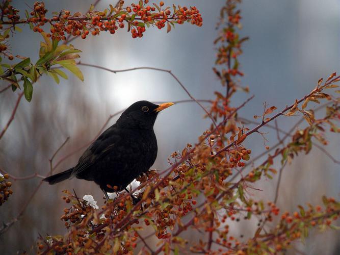 Merle noir, mâle adulte © Damien Combrisson - Parc national des Ecrins