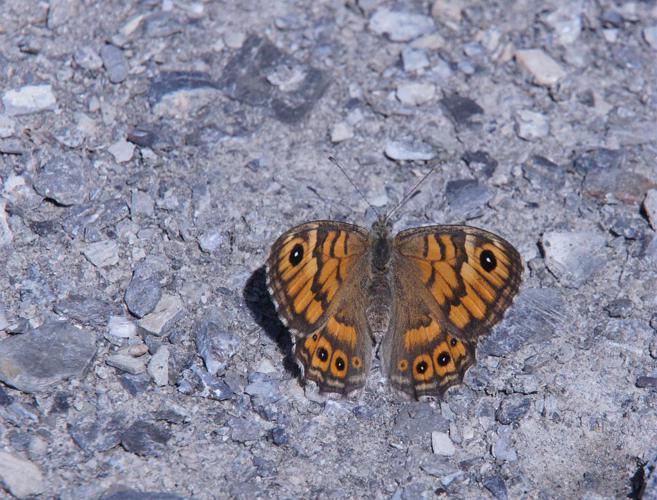 Mégère © Ludovic Imberdis - Parc national des Ecrins