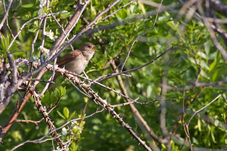 Rossignol philomène dans son milieu © Pascal Saulay - Parc national des Ecrins