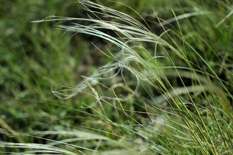 Stipe à tige laineuse, Stipe de France © Cédric Dentant - Parc national des Ecrins