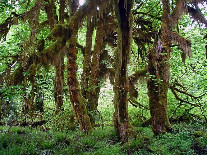 Acer macrophyllum in Hoh Rain Forest.jpg © No machine-readable author provided. KevinM~commonswiki assumed (based on copyright claims).