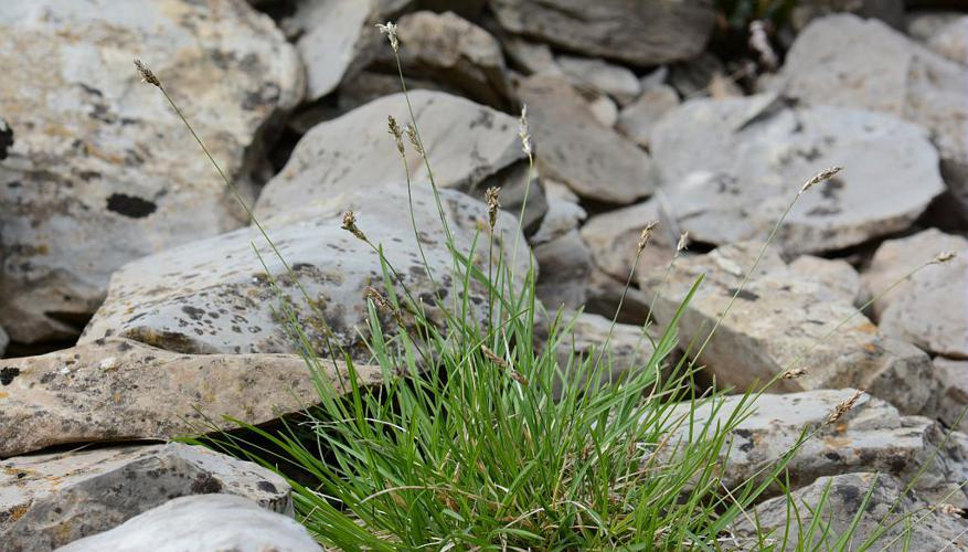 Seslérie blanchâtre, Seslérie bleue © Bernard Nicollet - Parc national des Ecrins